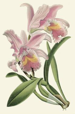 Delicate Orchid III
