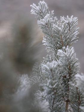 Delicate Snow-Covered Pine Needles on Tree Branches in Winter