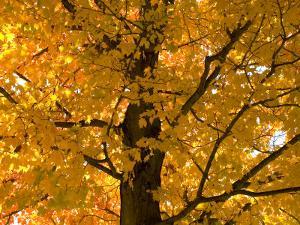 Autumn Leaves, Vermont, New England, USA by Demetrio Carrasco