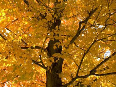 Autumn Leaves, Vermont, New England, USA