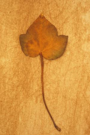 Close Up of Brown Autumn Or Winter Leaf of Ivy Or Hedera Helix Lying On Rough Beige Surface