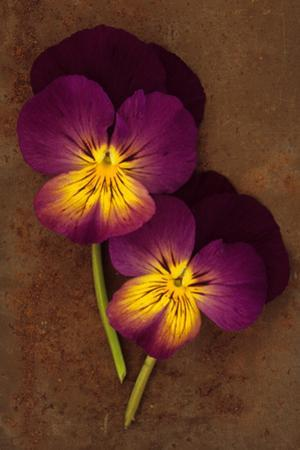 Close Up of Two Purple Mauve and Yellow Flowers of Pansy or Viola Tricolor Lying