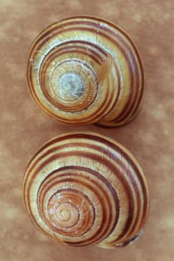 Grove Snails by Den Reader