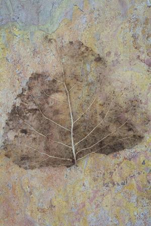 Skeleton of Leaf of Black Poplar Or Populus Nigra Tree