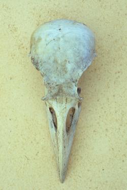 Streptopelia Decaocto by Den Reader