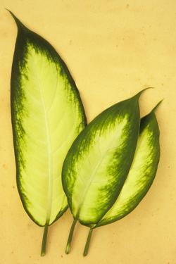 Three Oval Leaves by Den Reader