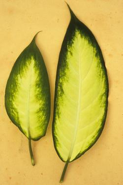 Two Oval Leaves by Den Reader