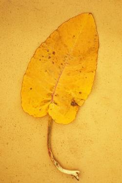 Yellow Leaf of Broad-Leaved Dock or Rumex Obtusifolius Lying on Antique Paper by Den Reader