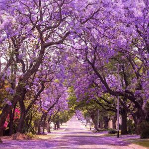 Street of Beautiful Violet Vibrant Jacaranda in Bloom. Tenderness. Romantic Style. Spring in South by Dendenal