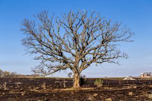 Oak Tree by dendron