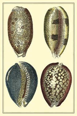 Classic Shells IV by Denis Diderot