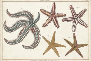Starfish Naturelle II by Denis Diderot
