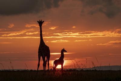 Masai giraffe, female and calf at sunset, with Abdim's storks, Masai-Mara, Kenya
