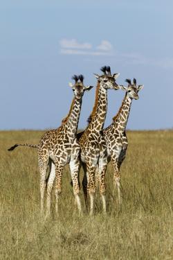 Masai Giraffe (Giraffa Camelopardalis Tippelskirchi) Juveniles, Masai Mara Game Reserve, Kenya by Denis-Huot
