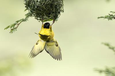 Village weaver (Ploceus cucullatus) male bird building nest, Masai-Mara Game Reserve, Kenya