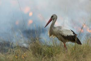 White Stork (Ciconia Ciconia) Hunting and Feeding at the Edge of a Bushfire by Denis-Huot