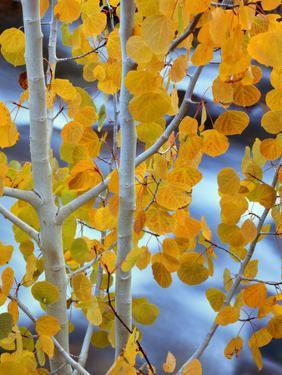 Autumn Leaves on Aspen Tree in the Sierra Nevada Range, Bishop, California, Usa by Dennis Flaherty