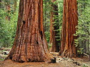 Close-Up of Sequoia Trees in Forest, Yosemite National Park, California, Usa by Dennis Flaherty