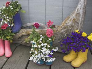 Colorful Rubber Boots Used as Flower Pots, Homer, Alaska, USA by Dennis Flaherty