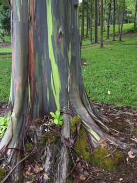 Eucalyptus Tree Bark, Kauai, Hawaii, USA by Dennis Flaherty