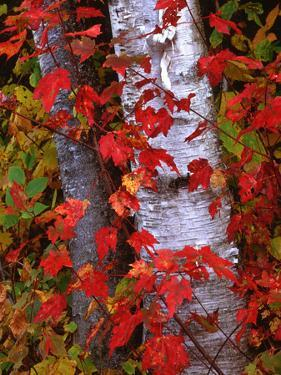 Trees in Autumn, White Mountains, New Hampshire, USA by Dennis Flaherty
