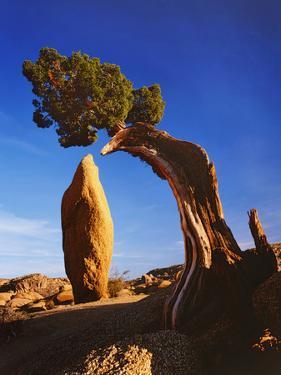 Weathered Juniper Tree Frames Rock Monolith, Joshua Tree National Park, California, Usa by Dennis Flaherty