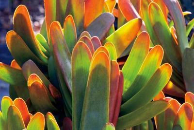 Aloe Fan by Dennis Frates