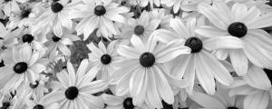Black Eyed Susans by Dennis Frates