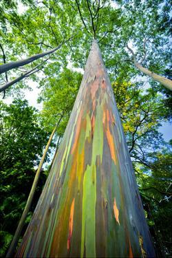 Painted Eucalyptus by Dennis Frates