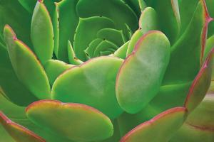 Red Trim Succulent I by Dennis Frates