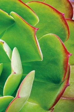 Red Trim Succulent II C by Dennis Frates
