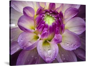 Royal Bloom by Dennis Frates