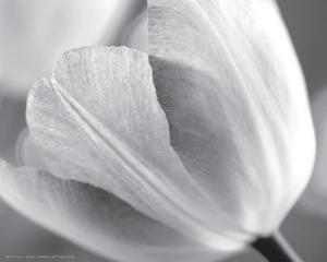 Tulip I by Dennis Frates