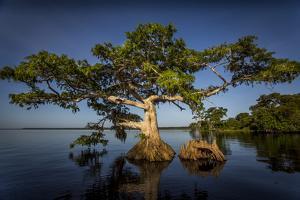 Blue Cypress by Dennis Goodman