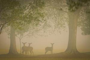 Deer by Dennis Goodman