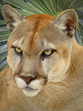 Florida Panther by Dennis Goodman