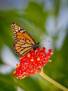 Monarch 1 by Dennis Goodman