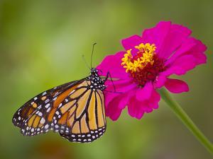 Monarch 2 by Dennis Goodman