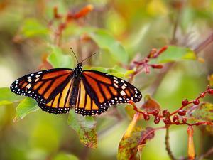 Monarch 3 by Dennis Goodman
