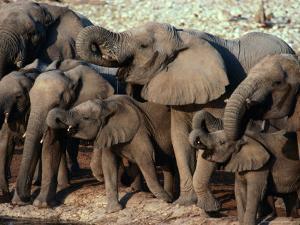 A Herd of Drinking Elephants - Etosha National Park, Namibia, Etosha National Park, Namibia by Dennis Jones