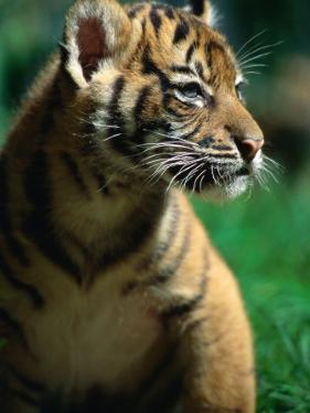 Sumatran Tiger Cub at Taronga Zoo, Sydney, Australia by Dennis Jones