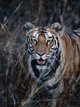 Tiger Stalking Through Long Grass, Bandhavgarh National Park, India by Dennis Jones