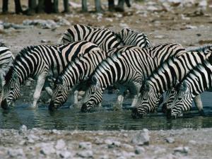 Zebras (Equus Burchellii) Drinking from Waterhole, Etosha National Park, Namibia by Dennis Jones