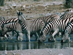 Zebras (Equus Zebra) Drinking in River, Etosha National Park, Namibia by Dennis Jones