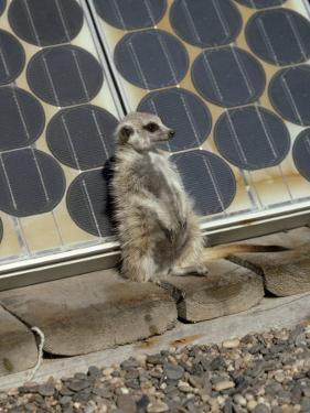 Suricate (Suricata Suricatta, also Called Meerkat), Suns Himself Against a Solar Cell by Des & Jen Bartlett