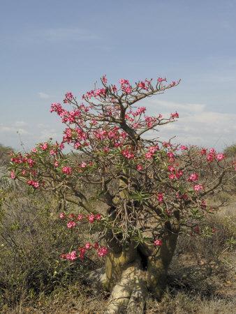 https://imgc.allpostersimages.com/img/posters/desert-rose-kenya-east-africa-africa_u-L-P7XFVW0.jpg?p=0