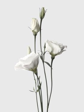 Lisianthus White by Design Fabrikken