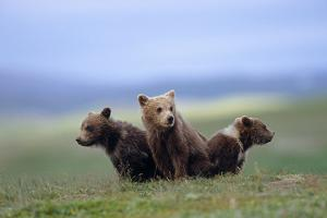 4 Young Brown Bear Cubs Huddled Together on Tundra Katmai National Park Southwest Alaska Summer by Design Pics Inc