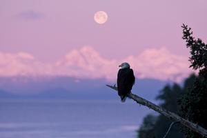 A Bald Eagle Perched on a Branch with the Moon Set at Sunrise in the Background by Design Pics Inc
