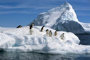 Adelie Penguins Jump from Iceberg Paulet Is Antarctic Summer by Design Pics Inc